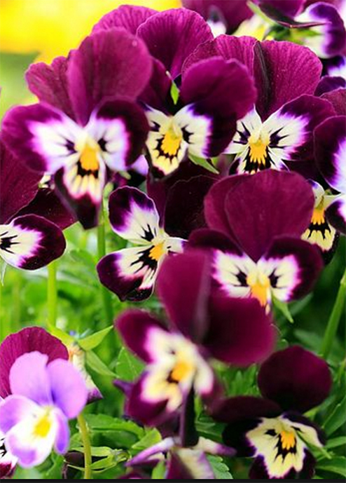 Pansies Pansy Flower Facts