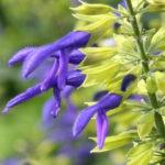 Propagating Salvia Species
