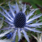 Sea Holly Plant Care