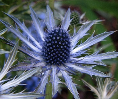 Sea Holly Plant Sea Holly Flowers