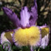 Spuria Iris Information