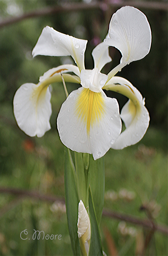 Spuria Iris vintage white Iris is similar to dutch Iris Casablanca