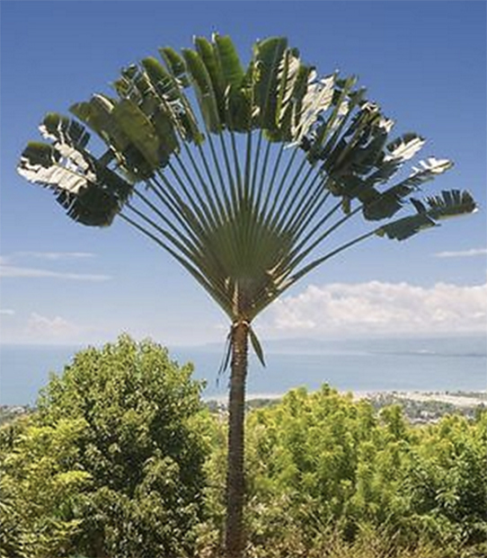 Travellers Palm Ravenala Madagascariensis Information and Plant Facts