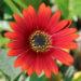 Arctotis African Daisy Plants