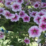 Growing A Petunia Plant From Seed