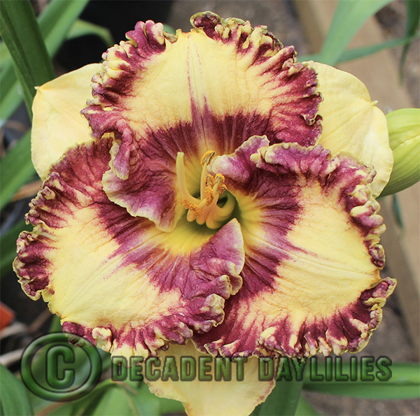 Happy Happy Daylily