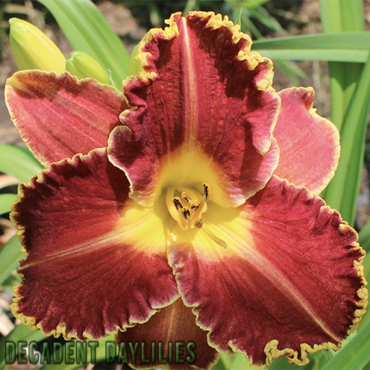 Daylily sun or shade