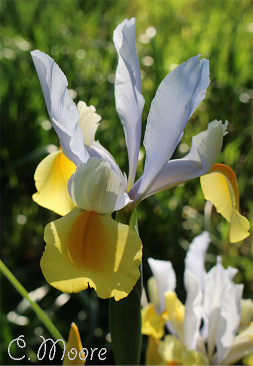 Dutch Iris spring bulbs