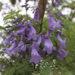 Jacaranda Tree Plant & Care