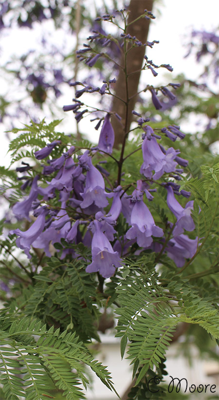 Jacaranda tree has spectacular summer flowers and Foliage