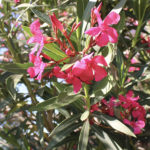 Oleander Evergreen Shrub