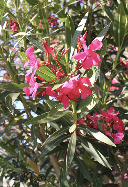 Oleander white pink shrub