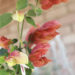 Shrimp Plant Information Details