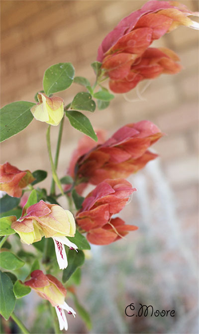 Shrimp plant growing requirements