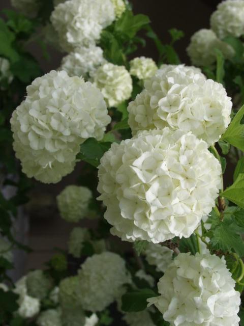 snowball-bush-viburnum-flower Viburnum opulus 'Roseum'