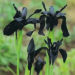 Iris Chrysographes Black Species