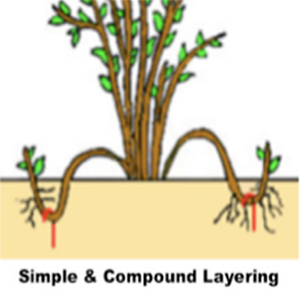 Different methods of Layering Plants photo examples