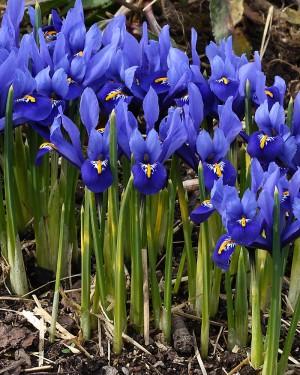 Dwarf Iris bulb varieties