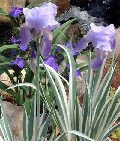 Iris Pallida Argentea Variegata