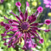 Osteospermum Cape Daisy Care