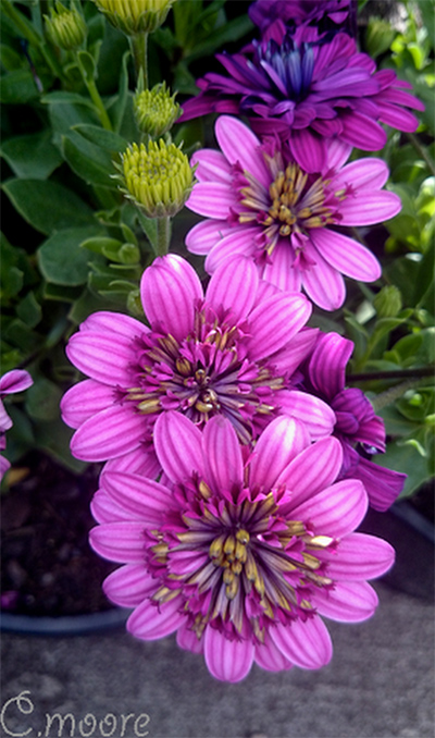 Osteospermum double pink flowers