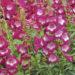 Penstemon Plants Grow & Care