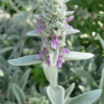 Stacgts-Byzantina-Lambs-Ears-Perennial-Herb-Flower