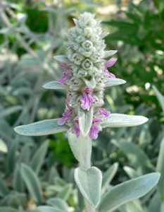 Stacgts Byzantina Lamb's Ears Perennial Herb Flower