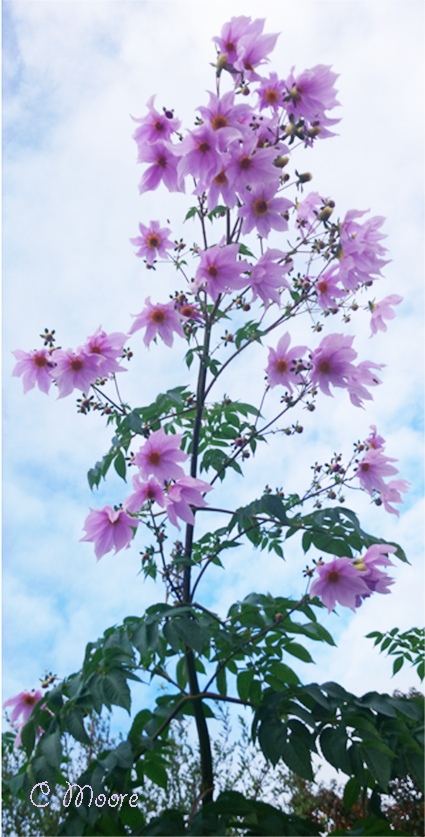 Tree Dahlia tall and elegant