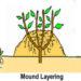 Layering Plants Simple Easy Methods