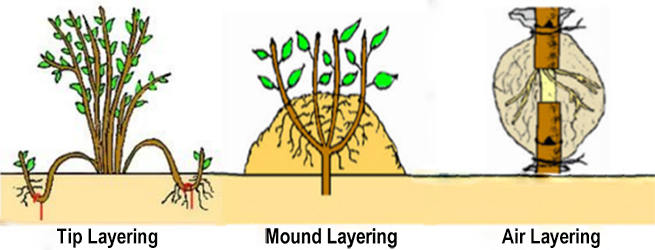 Types of Laying in Plants-1