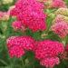Achillea Millefolium Plant Care