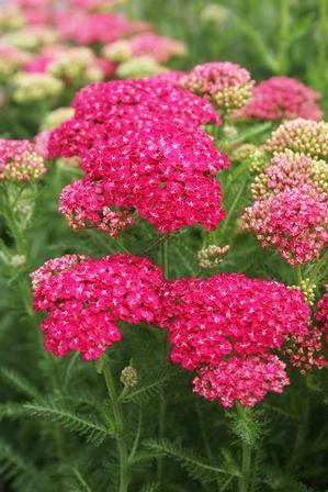 Achillea Millefolium Yarrow Herb