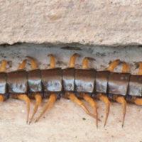 Centipede Millipedes