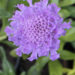 Scabiosa Pincushion Flowers Care