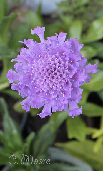 Pincushion Scabiosa Flower