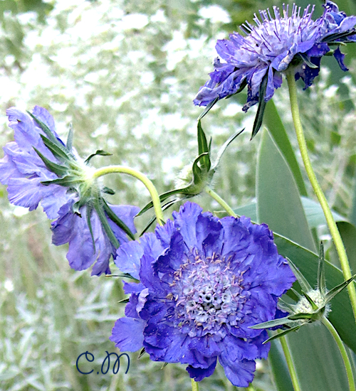 Scabiosa Caucasica 'Fama' growing in my garden with tall bearded iris and snow in summer
