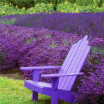 Grow Care of Lavender Plants