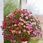 Impatiens Grow And Care Tips