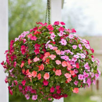 A ball of impatiens in full bloom