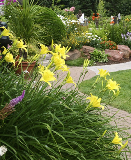 Daylilies in australia perennial plant definition examples of perennials list flowers fruits nuts herbs and vegetables mightylinksfo Choice Image