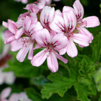 Scented Pelargoniums have perfumed leaves and tiny flowers