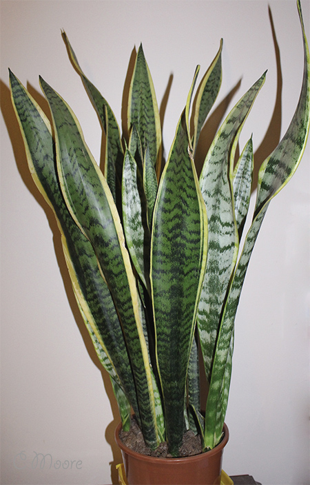 Variegated mother-in-law's Tongue snake plant