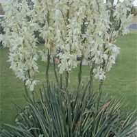 Variegated yucca in bloom