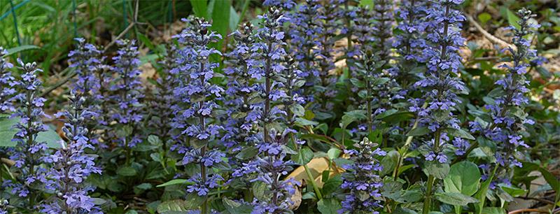 Ajuga Reptans blue flowering variety