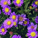 Aster Easter Daisy Care