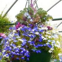 Blue lobelias grown in a hanging basket