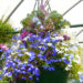 Lobelia Care Free Tips