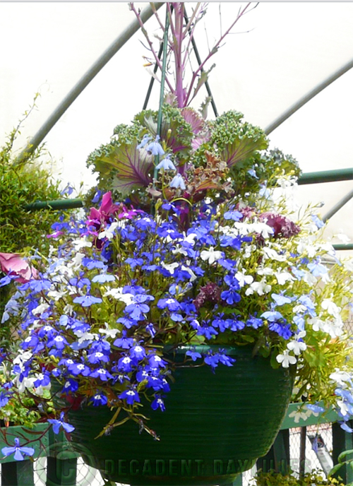 Lobelia Blue lobelias grown in a hanging basket
