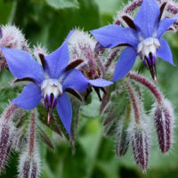 Borage a garden plant with many uses